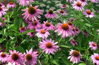purple-coneflower1